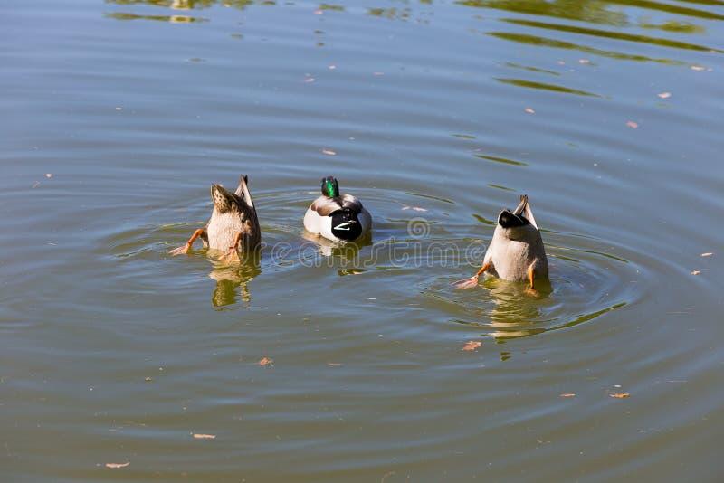 Ducks Feeding royalty free stock photos