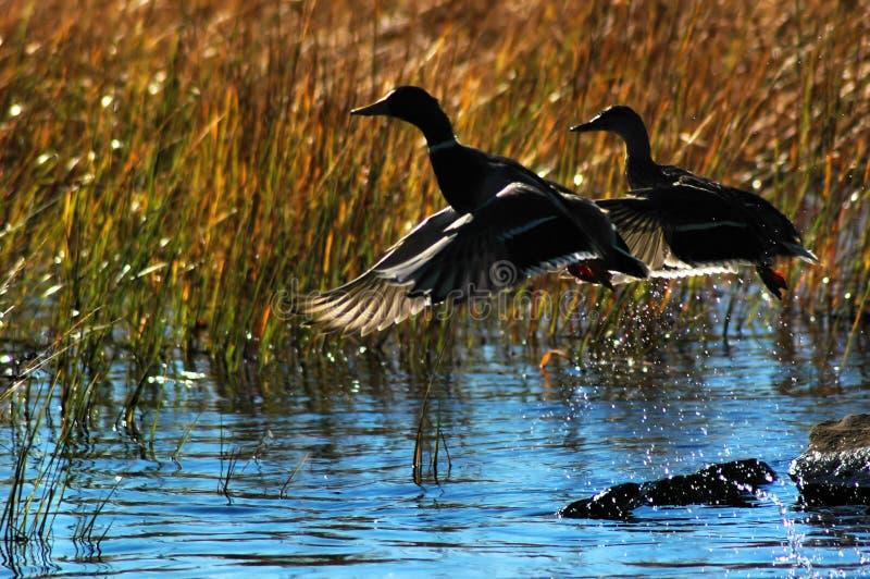 Ducks in flight. stock image