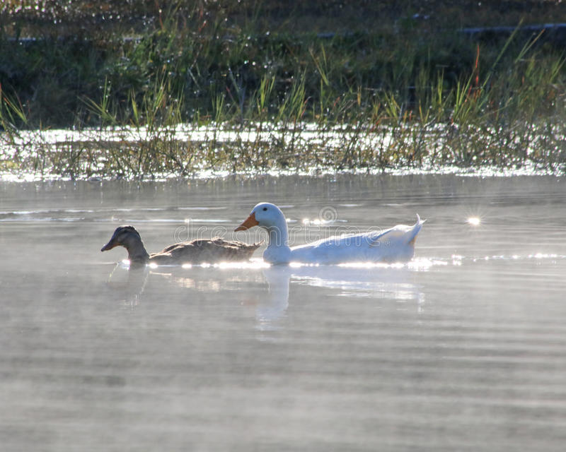 Ducks floating on a pond mist rising from water. A white Pekin duck with a Brown Mallard float through the mist in the early morning at Blue Bird Springs park in royalty free stock photos