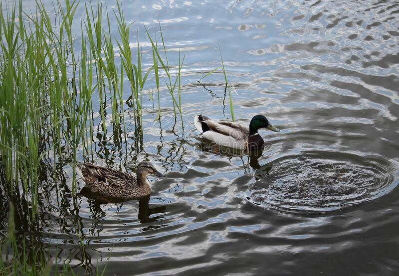 Ducks floating on the still water of the lake.  royalty free stock image