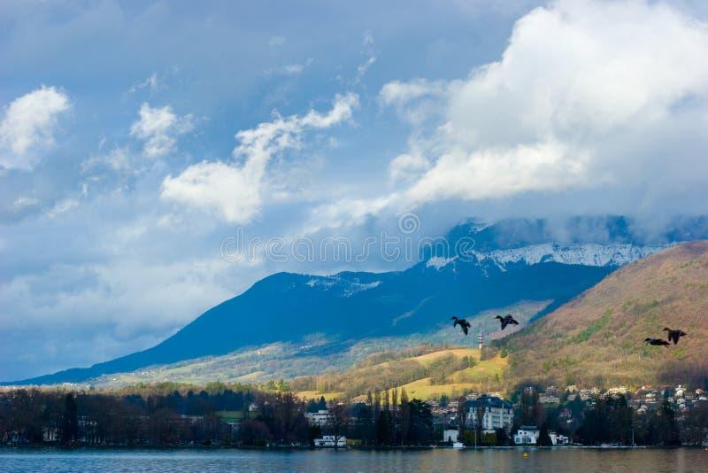 Ducks flying over lake stock photo