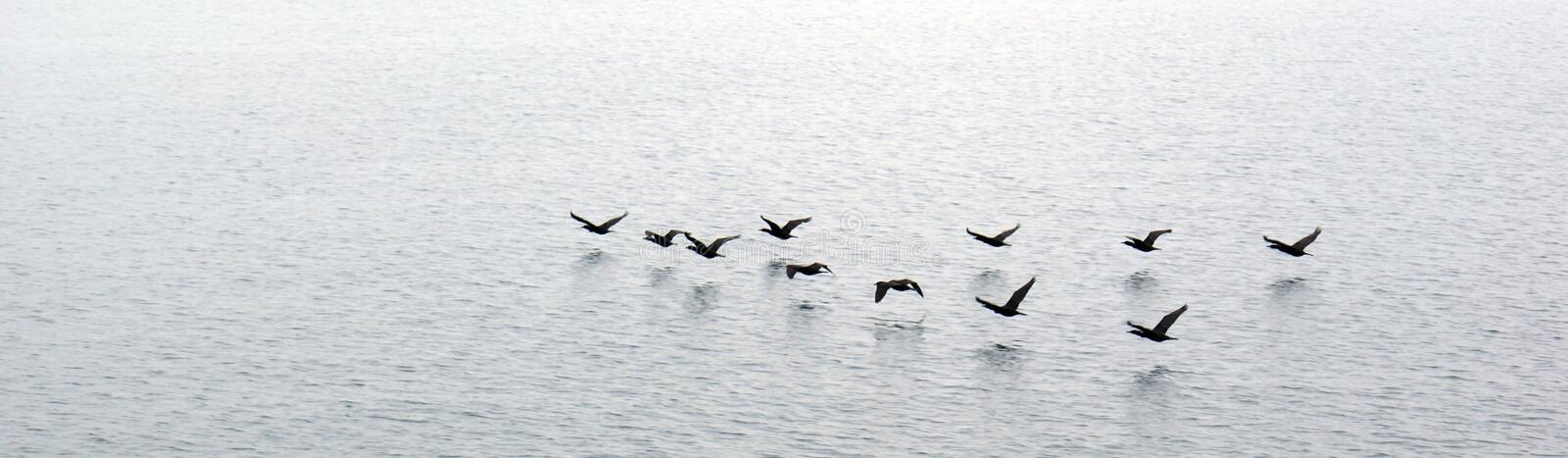 Download Ducks flying over water stock image. Image of winging - 10729919