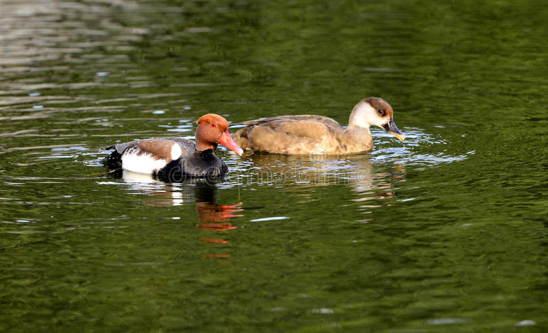 Ducks Foraging Stock Photography