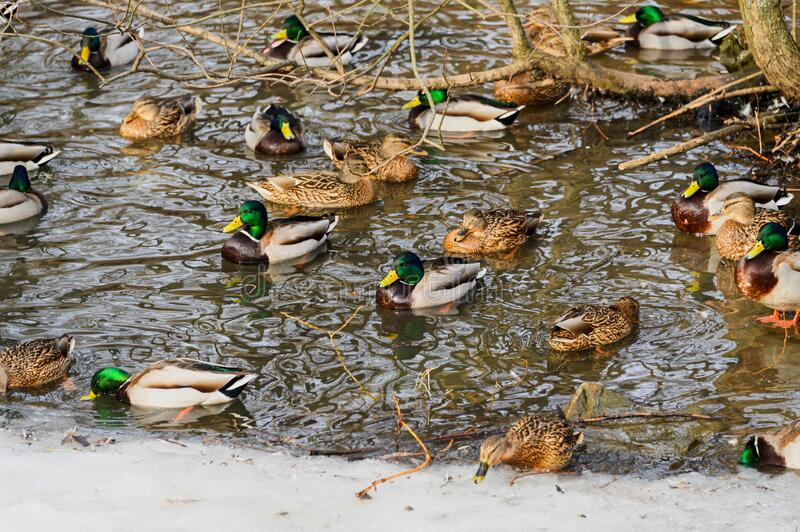 Ducks on a frozen lake. Ducks walk on ice and swim in the thaw.  royalty free stock images