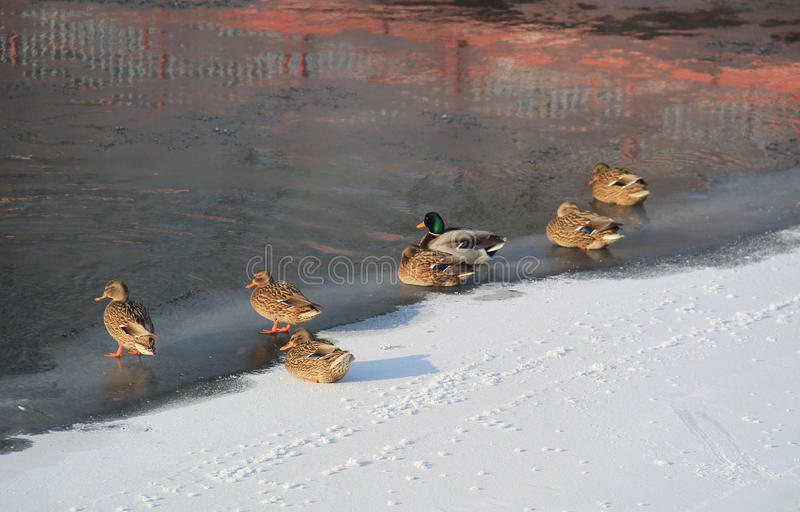 Download Ducks on frozen river stock photo. Image of several, river - 83711204