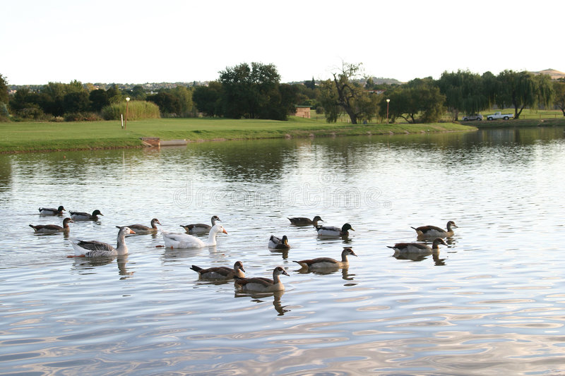 Download Ducks and geese stock image. Image of ducks, green, lake - 103321