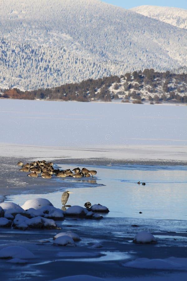 Winter Waterfowl, Frozen Lake and Mountains royalty free stock photos