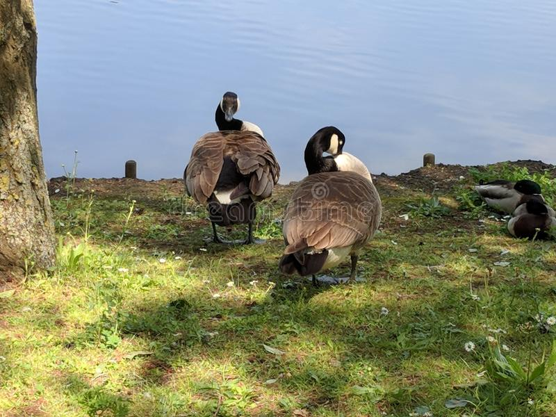 Geese heading towards Bluewater lake. Ducks and geese heading towards a still and calm lake midday in uk at Bluewater nature walk royalty free stock photos