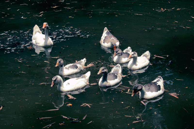Ducks and geese in the lake stock image