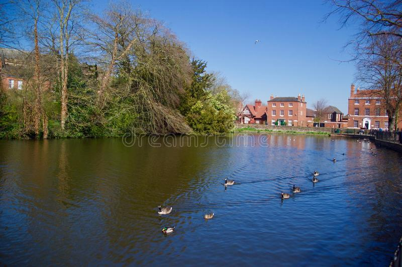 Ducks and geese on the water at Lichfield. Lichfield Cathedral Staffordshire England united kingdom royalty free stock image