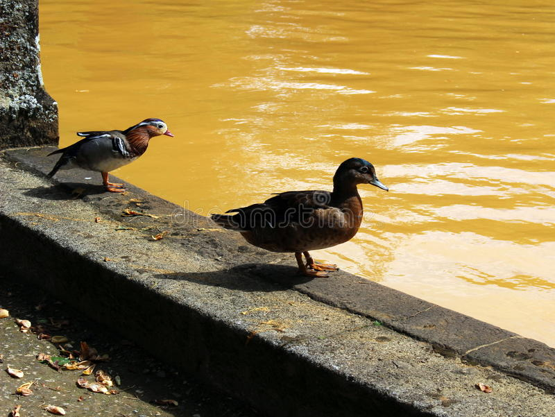 Ducks are going to dive into the thermal lake in Terra Nostra park on the island of San Miguel. stock photo