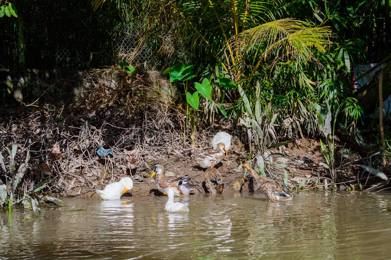 Ducks and goose standing on the shore royalty free stock photos
