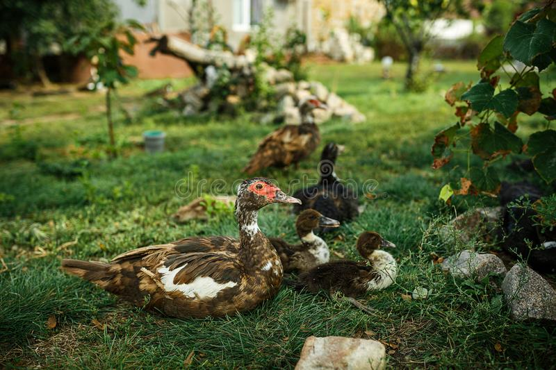 Ducks on green grass. Farm in the village. Ducks on the green grass. Poultry in the yard. The farm in the village royalty free stock images