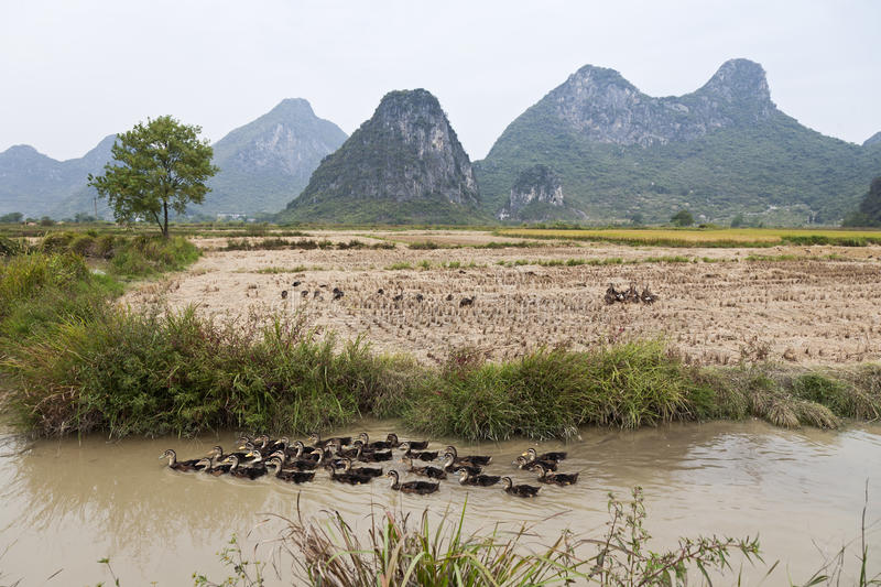 Download Ducks in Guilin stock photo. Image of farming, ducklings - 22512422