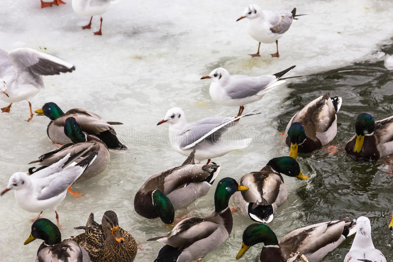 Ducks and gulls. Eating pieces of bread thrown by people stock photo