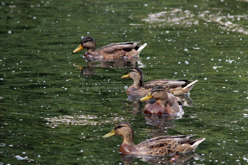 ducks i platyrhynchos di anas, che stanno andando alimentare il pane che galleggia nel parco bianco di Gatcina del lago fotografia stock