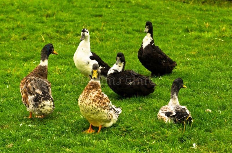 Ducks il punto di incontro su un prato verde fotografia stock
