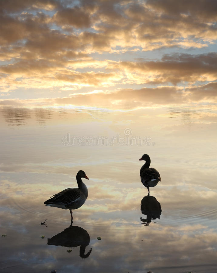 Free Ducks In The Water, Tranquil Sunset Scenery Royalty Free Stock Photos - 39164558