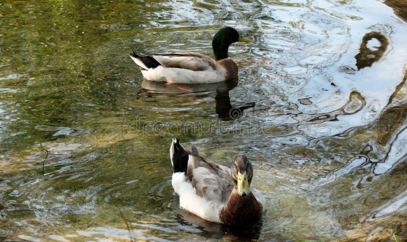 Ducks in lake stock photography