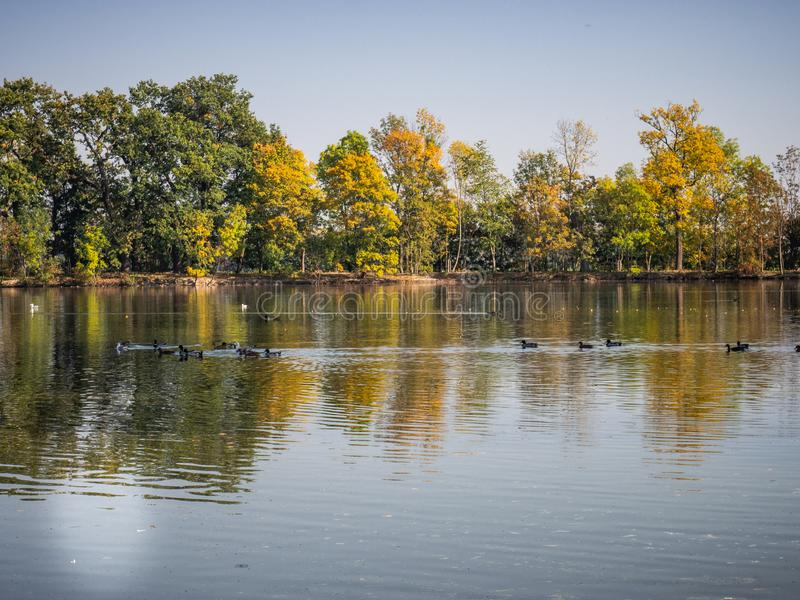 Group of duck birds in lake in evening light. Ducks in lake in the autumn evening light with colorful trees royalty free stock photography