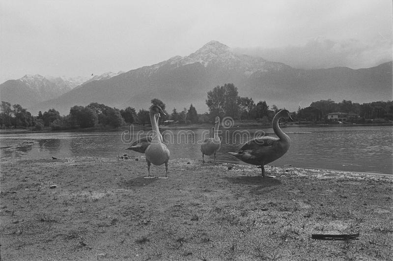 Ducks on Lake of Como, Film frame, black and white analog camera royalty free stock photography