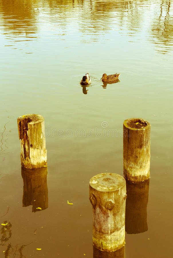 Ducks on a lake royalty free stock photography