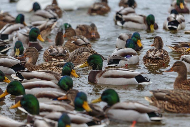 Ducks on a lake. Large flock of ducks swim in the freezing lake. royalty free stock photography