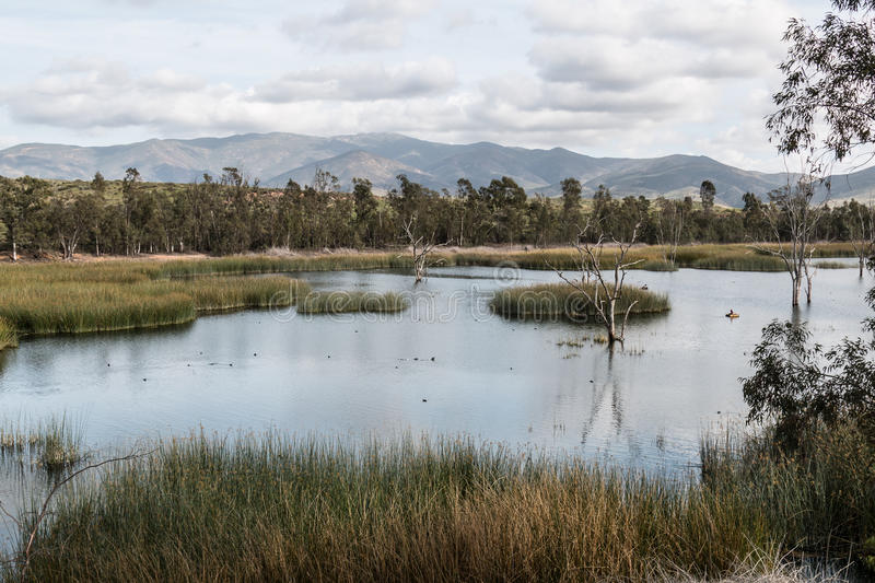 Ducks in Lake with Marsh Grass, Trees and Mountains royalty free stock photos
