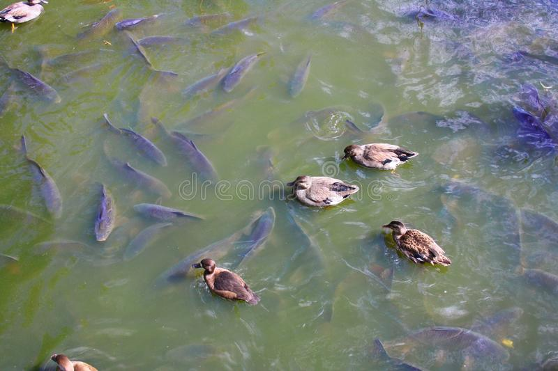 Ducks on a lake. Natural scene. stock photography