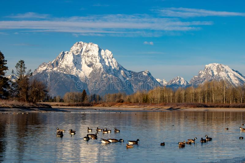 DUCKS ON LAKE OF YELLOWSTONE NATIONAL PARK stock images