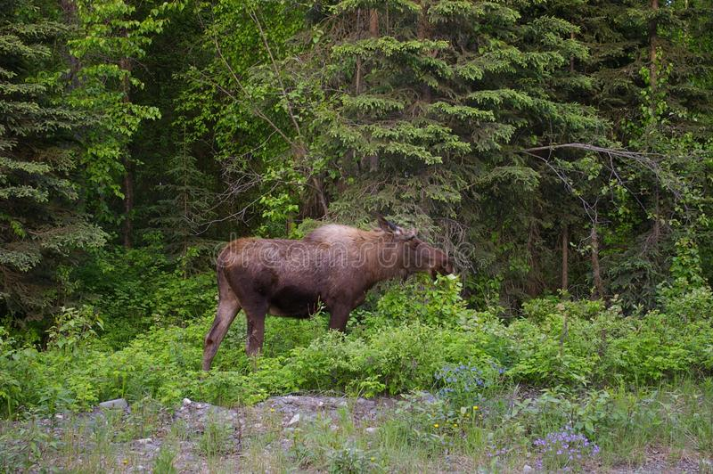 Cow moose in woods. Joint Base Elmendorf Richardson just north of Anchorage, AK. Cow moose in the trees stock images