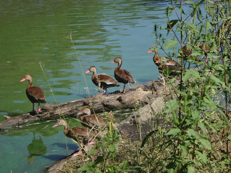 Ducks on a log. Flock of whistling ducks on a branch in Audubon Park, New Orleans stock photo