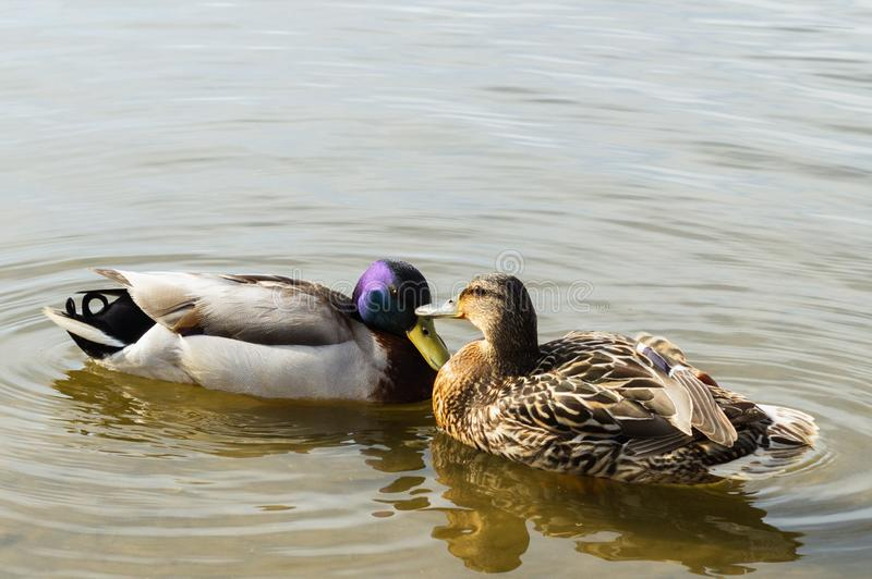 Ducks in love. On the water surface kiss each other`s beaks in early spring, Russia royalty free stock image