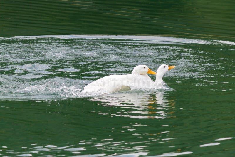 Ducks in love stock image