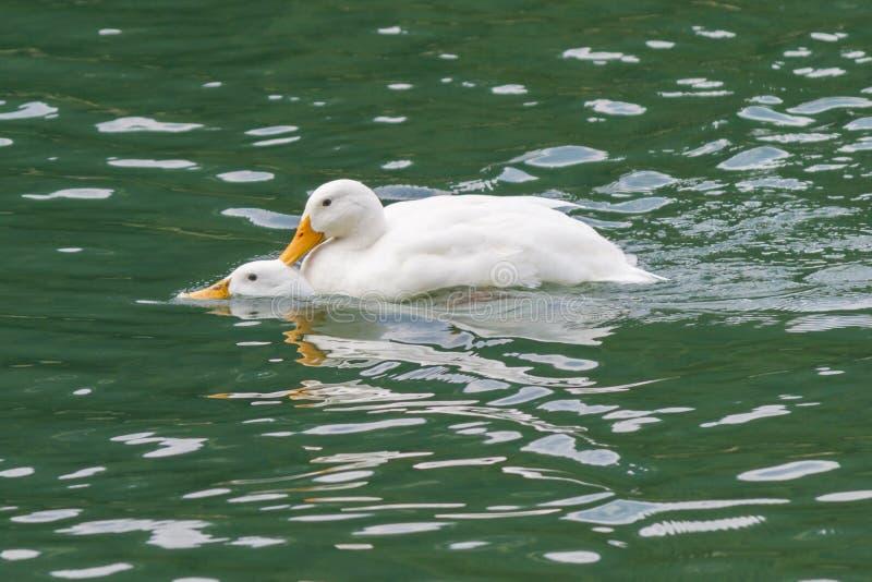 Ducks in love royalty free stock photo