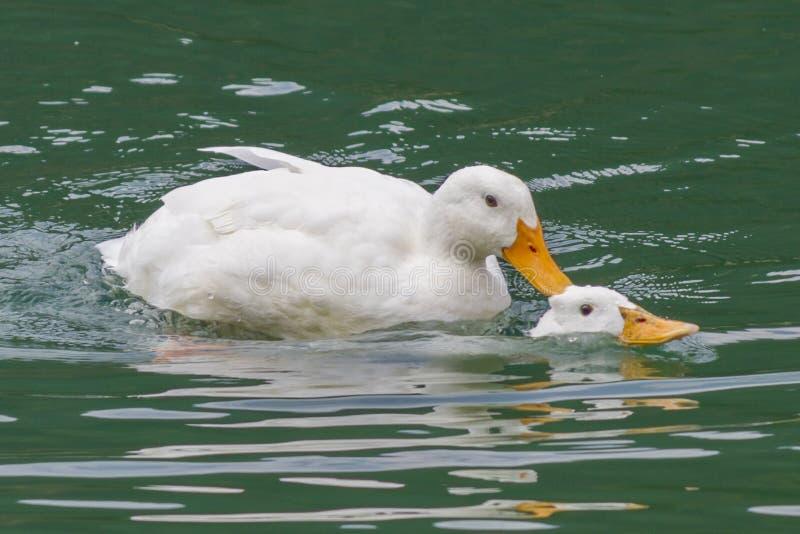 Ducks in love stock images