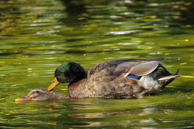 Wild ducks on the water stock images