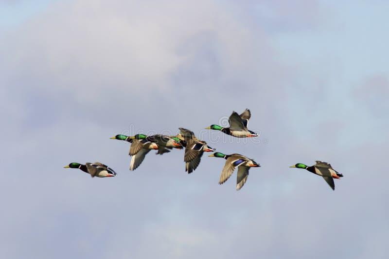 ducks mallard стоковое изображение rf