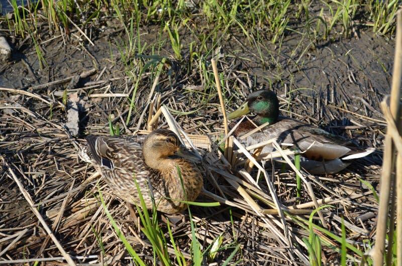 Download Ducks mallard 2 стоковое фото. изображение насчитывающей мужчина - 40591962