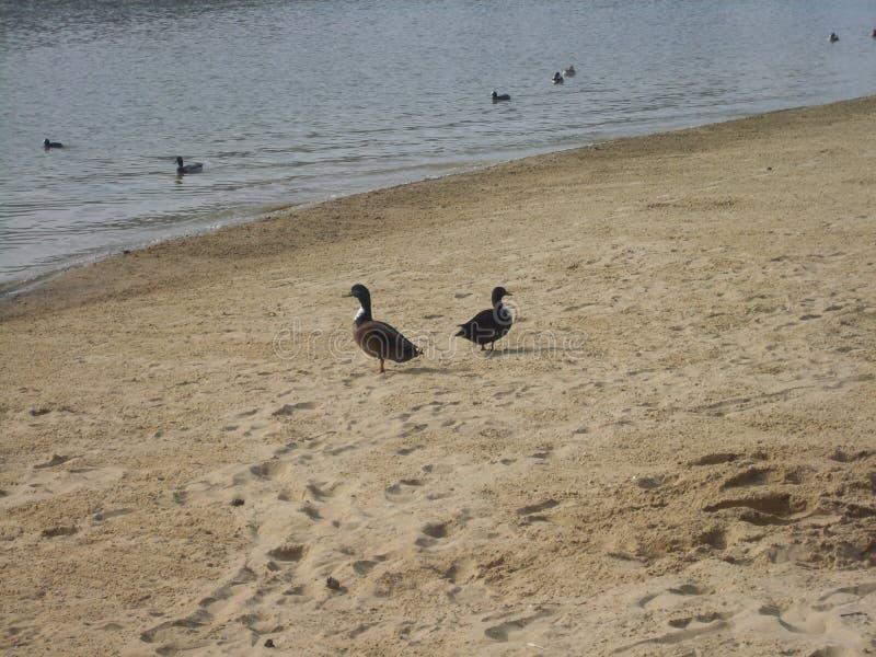 Ducks on man made beach overlooking lake stock photo