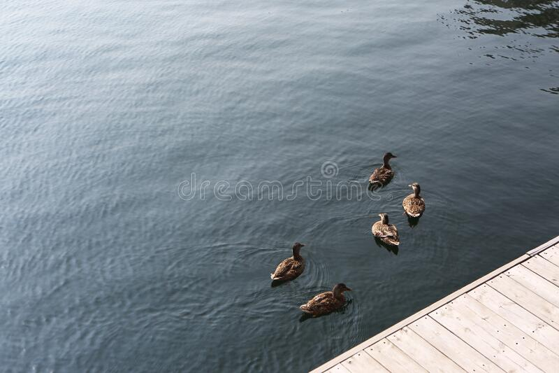 Ducks' Meeting royalty free stock photos