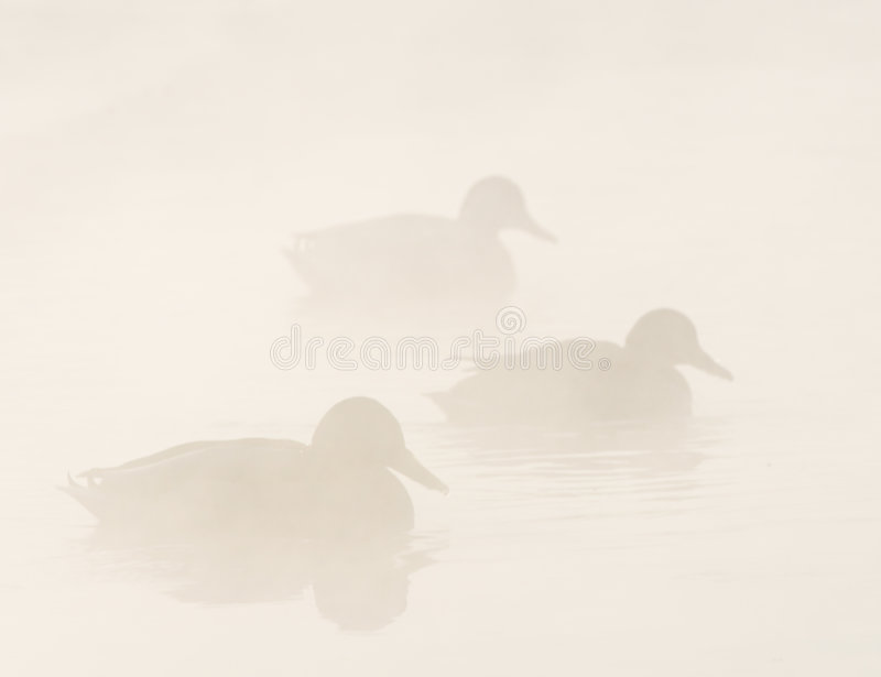 Ducks in the mist royalty free stock images