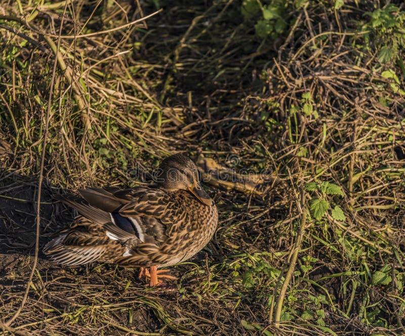Ducks near river Bilina in winter sunn day royalty free stock photo