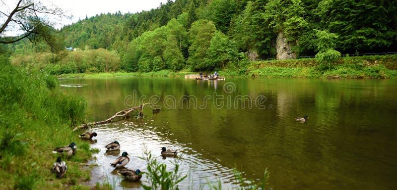 Ducks near river Dunajec. In national park Pieniny stock images