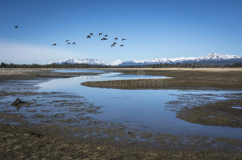 Ducks near the Salmon River stock photo