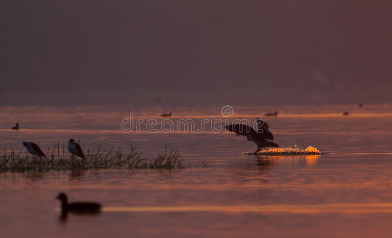 Ducks and other birds in a lake. Ducks and other wetland birds in the morning light in a wetland in Gujarat India stock photo