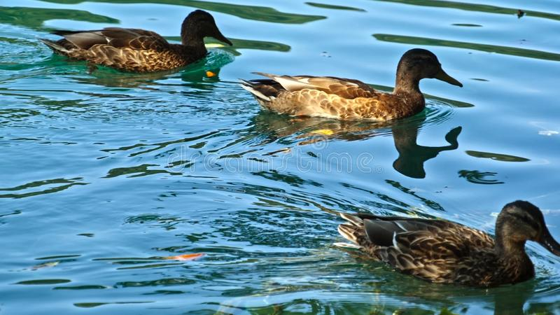Download Ducks On The Plitvice Lakes In Croatia Stock Image - Image of large, closeup: 108514619