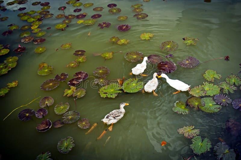 Download Ducks On Pond Stock Photos - Image: 20405883