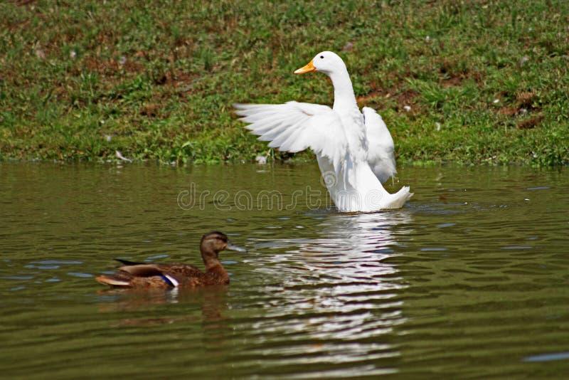 Ducks on Pond stock image