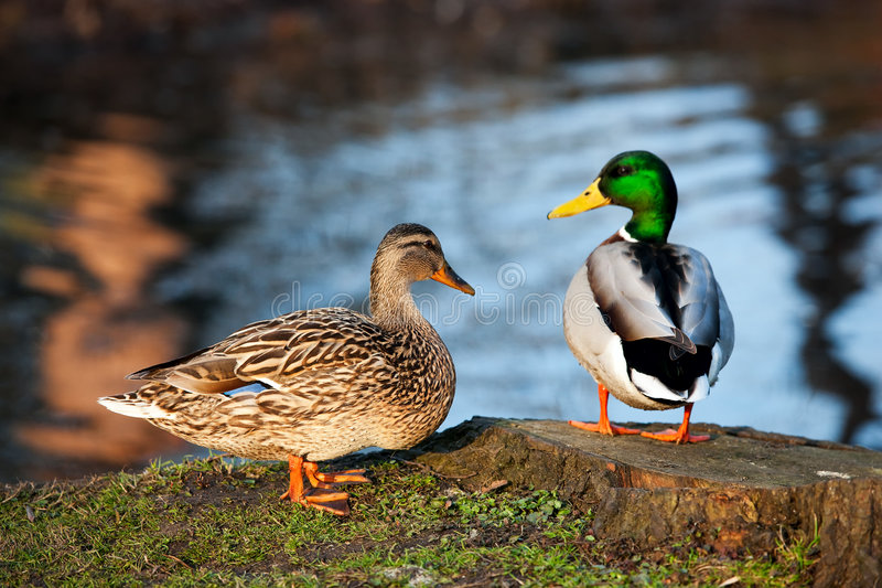 Ducks by the pond stock photo